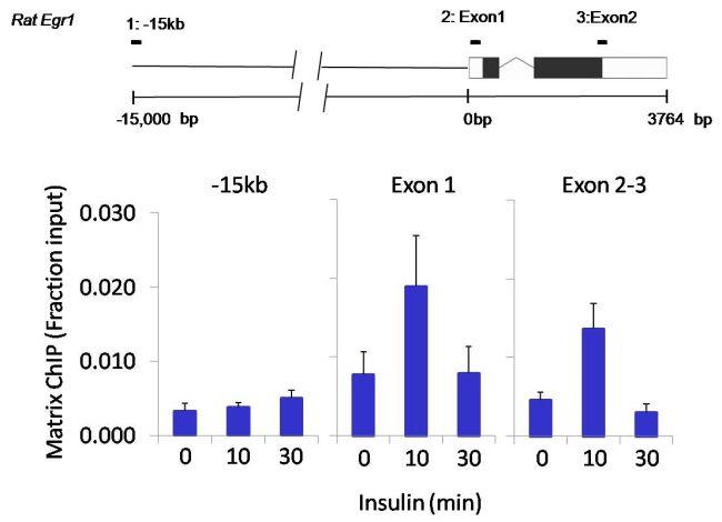 OCT4 Antibody (PA5-27194) in ChIP assay