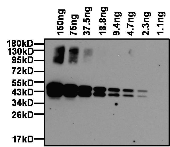 Ovalbumin Antibody (PA1-196-HRP) in Western Blot