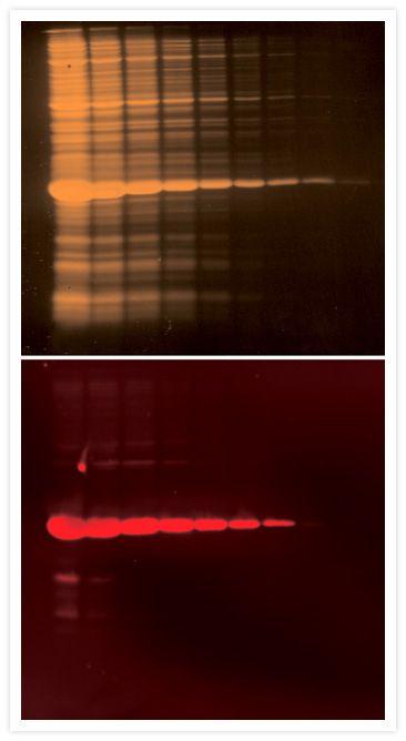 Penta-His Tag Antibody (P-21315)