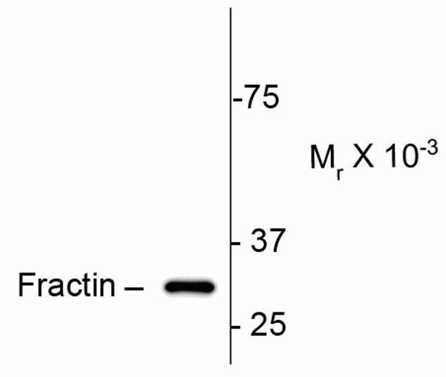 Fractin Antibody (P21946)