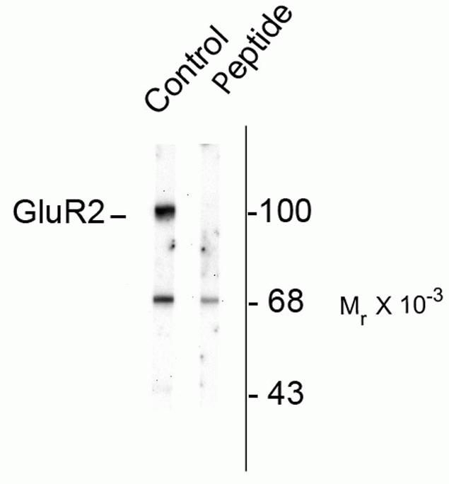Phospho-GluR2 (Ser880) Antibody (P21949)