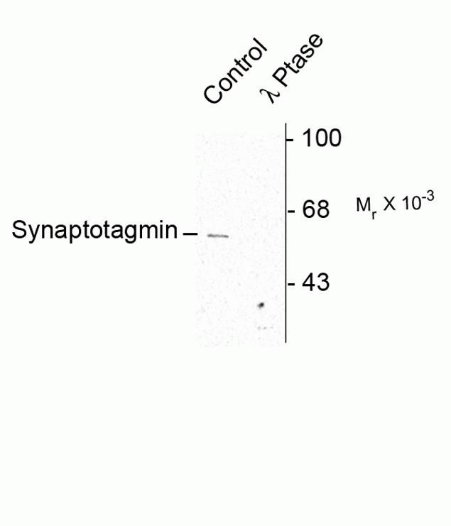 Phospho-Synaptotagmin 1 (Ser309) Antibody (P21957) in Western Blot
