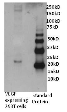 VEGF Antibody (P802) in Western Blot