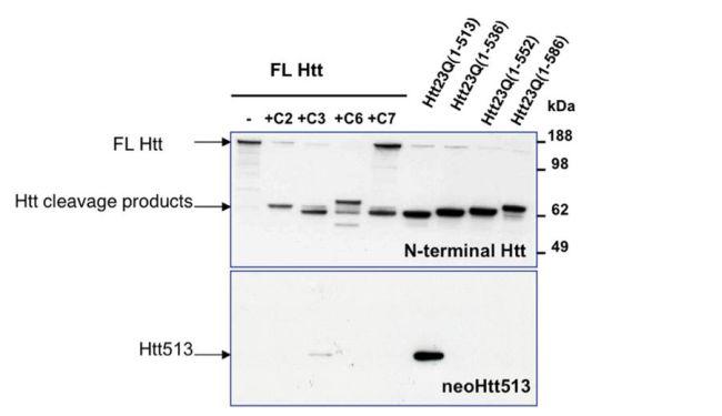 HTT Antibody (PA1-002) in Western Blot
