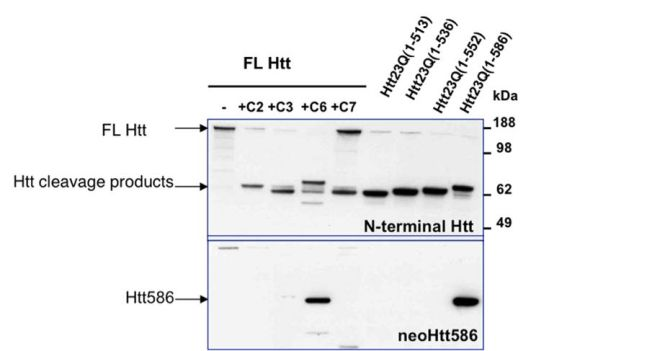 HTT Antibody (PA1-004) in Western Blot