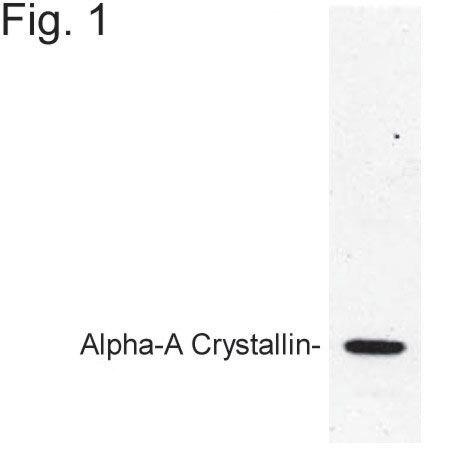 CRYAA Antibody (PA1-009)