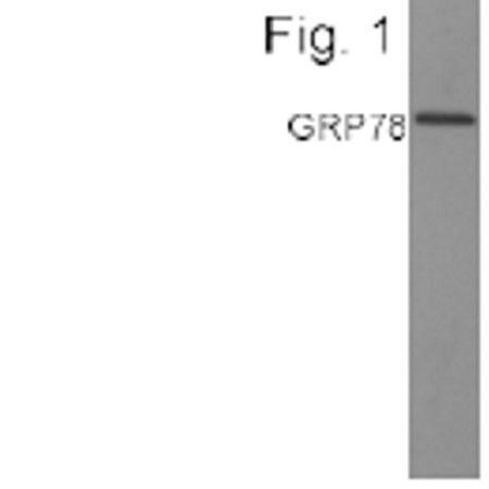 GRP78 Antibody (PA1-014A) in Western Blot