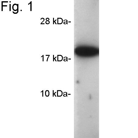 Cyclophilin A Antibody (PA1-025) in Western Blot