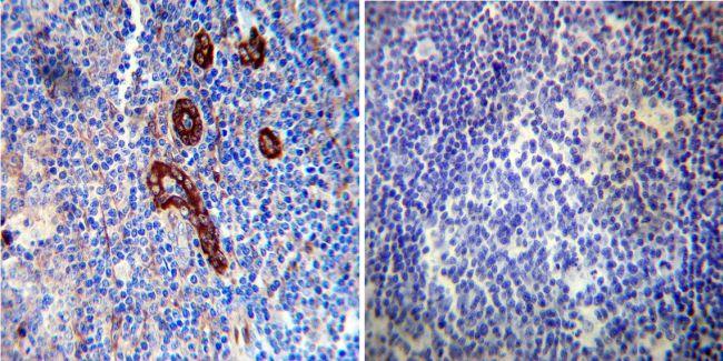 FKBP12 Antibody (PA1-026A) in Immunohistochemistry