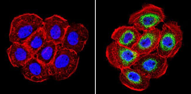 Cyclophilin B Antibody (PA1-027A) in Immunofluorescence