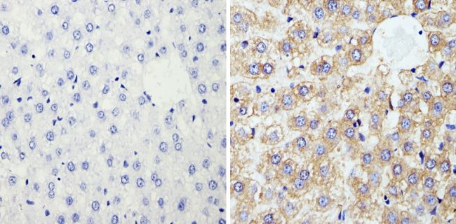 Cyclophilin B Antibody (PA1-027A) in Immunohistochemistry (Paraffin)