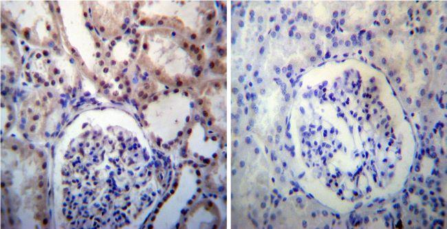 Nucleophosmin Antibody (PA1-029)