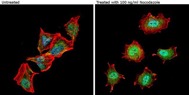 Phospho-nNOS (Ser1417) Antibody (PA1-032) in Immunofluorescence