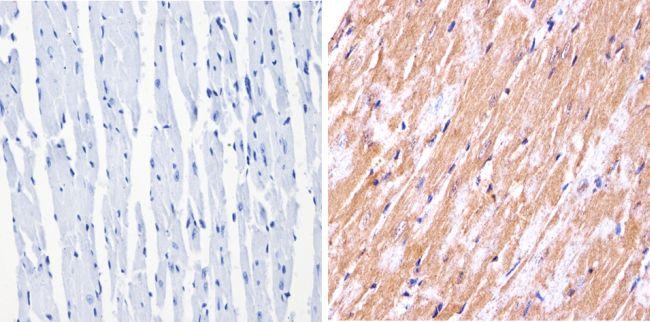 nNOS Antibody (PA1-033) in Immunohistochemistry (Paraffin)