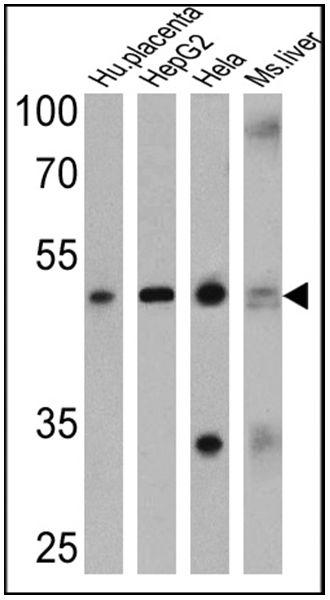ADORA2A Antibody (PA1-042) in Western Blot
