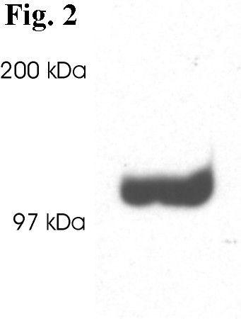 PSD93 Antibody (PA1-043) in Western Blot