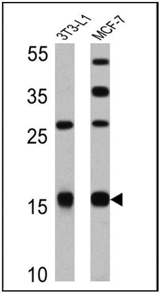 Leptin Antibody (PA1-052) in Western Blot