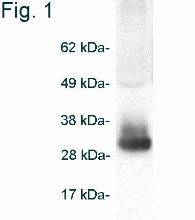 Adiponectin Antibody (PA1-054) in Western Blot