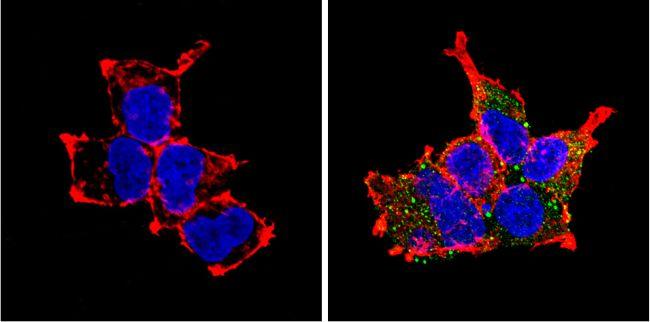 PCSK2 Antibody (PA1-058) in Immunofluorescence
