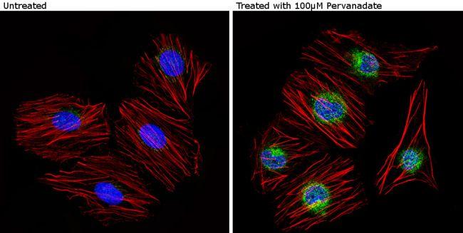 Phospho-Caveolin 2 (Tyr19) Antibody (PA1-060) in Immunofluorescence