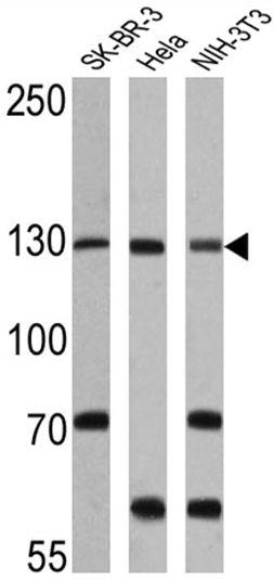 CRM1 Antibody (PA1-083)