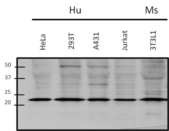 RAC1 Antibody (PA1-091) in Western Blot
