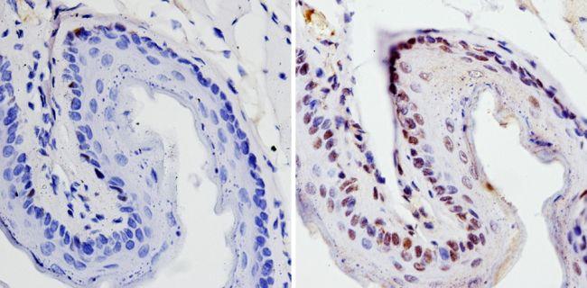 SOX2 Polyclonal Antibody