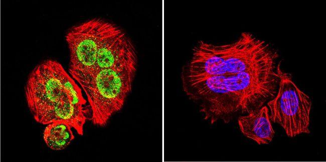 GATA1 Antibody (PA1-099) in Immunofluorescence