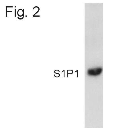 S1P1 Antibody (PA1-1040) in Western Blot