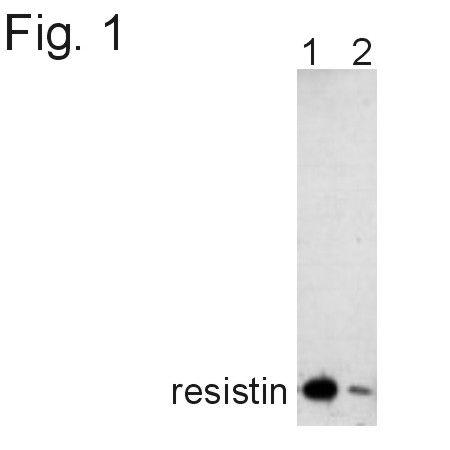 Resistin Antibody (PA1-1049) in Western Blot