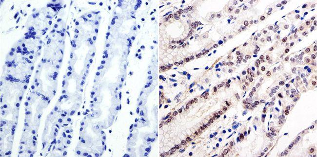 GATA6 Antibody (PA1-104) in Immunohistochemistry