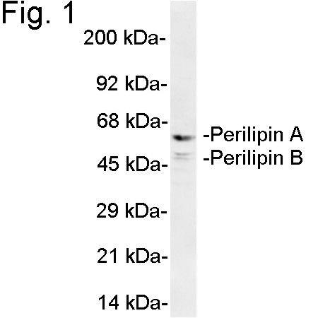 Perilipin A/B Antibody (PA1-1052)