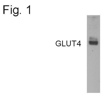 GLUT4 Antibody (PA1-1065)