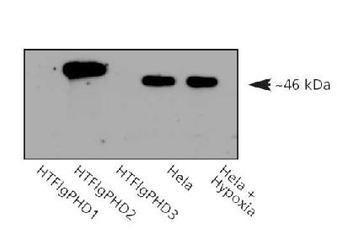 PHD2 Antibody (PA1-16524) in Western Blot