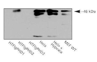 PHD2 Antibody (PA1-16525) in Western Blot