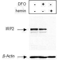 IREB2 Antibody (PA1-16544)