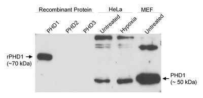PHD1 Antibody (PA1-16569)