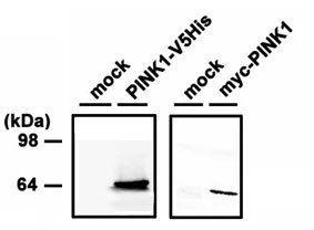 PINK1 Antibody (PA1-16625)