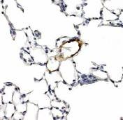 LYVE1 Antibody (PA1-16635)