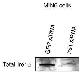 IRE1 alpha Antibody (PA1-16928) in Western Blot