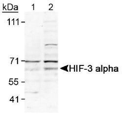 HIF3A Antibody (PA1-16952) in Western Blot