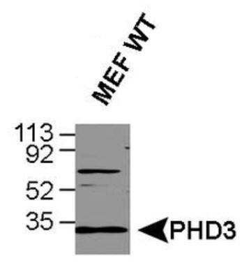 PHD3 Antibody (PA1-20196)