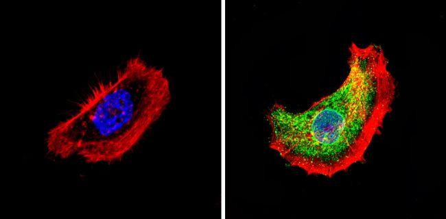 THRA Antibody (PA1-216) in Immunofluorescence