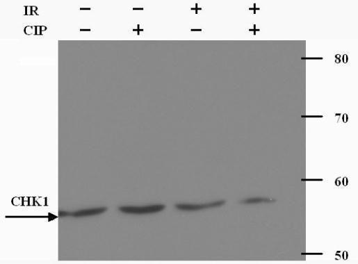 Chk1 Antibody (PA1-21769) in Western Blot