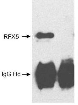 RFX5 Antibody (PA1-22854)