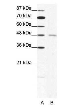CHRND Antibody (PA1-24271)