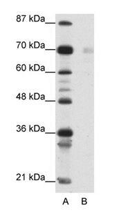 HSP90 beta Antibody (PA1-24317) in Western Blot