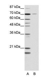 TR2 Antibody (PA1-24354)