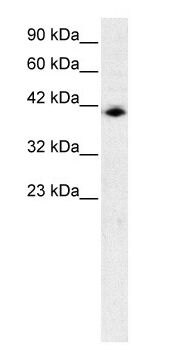 IRF9 Antibody (PA1-24390) in Western Blot