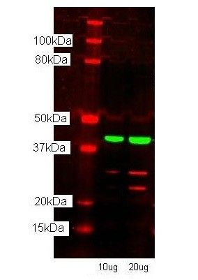 TFAM Antibody (PA1-24435) in Western Blot